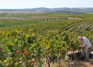 Pequenos viticultores atingidos pela quebra da produção