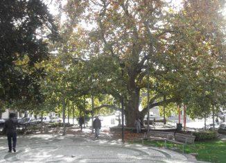 Plátano perde concurso para árvore de Mértola